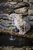 A la Claire Fontaine ... (Briren22) Tags: chat fontaine eau cat animal