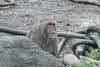 P1220666 (jinkemoole) Tags: japanesemacaque ニホンザル 台北動物園 taipeizoo zoo animal monkey
