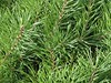 Wheaton, IL, Cantigny Park, Evergreen Needles (Mary Warren 9.6+ Million Views) Tags: wheatonil cantignypark nature flora plants garden park tree green evergreen pine needles foliage