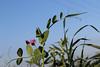 (christine_kuchem) Tags: acker ackerrand agrarlandschaft biene bienenweide blühstreifen blüte boden bodenverbesserung dünger düngung eiweisserbsen eiweis eiweiserbsen erbsen feld felder grün gründünger insekten klee kulturlandschaft landwirtschaft lupinen mischung nahrung nektar pisumspec ramtillkraut sommer verbesserung winter winterroggen bio biologisch blau lila naturnah natürlich
