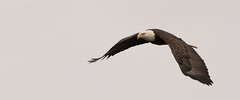 Eagle in Flight (cwhitted) Tags: moncure northcarolina unitedstates us chathamcounty beverettjordanlakeanddam jordanlakedam baldeagle eagle bif birdinflight canoneos7dmarkii canon eos sigma sigma150600mm sigma150600mmcontemporary sigma150600mmf563dgoshsmcontemporary sigma150600mmf563dgoshsmc raptor hawriver