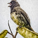 Yellow Bellied Seedeater Panaca Quimbaya Colombia