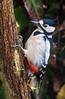 Oiseaux du jardin (Ariège) (PierreG_09) Tags: ariège pyrénées pirineos couserans oiseau picépeiche dendrocoposmajor greatspottedwoodpecker picopicapinos buntspecht käpytikka seix jardin