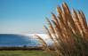 Pampas Grass (Timallen) Tags: rhodes sea pampasgrass