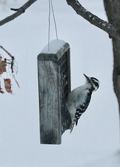 Backyard birds (REGOR NOTPUL) Tags: glenburnie ontario birds feeders cardinal female hairy woodpecker darkeyed junco