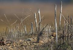 Burrowing Owl (9) (Jerry Ting) Tags: arrowheadmarsh martinlutherkingjrregionalshoreline oakland california ebparksok burrowingowl 2018bigyear