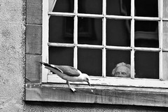 The Lady and the Seagull # 3 (just.Luc) Tags: window fenêtre fenster raam venster seagull zeemeeuw mouette lady dame woman femme donna mujer vrouw frau bn nb zw monochroom monotone monochrome bw edinburgh edinbourgh royaumeuni verenigdkoninkrijk unitedkingdom grootbrittanië grandebretagne greatbritain scotland schotland ecosse europa europe