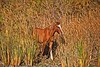 Youngster come of age! (littlebiddle) Tags: equine horses nature wild equis wildlife mammal animals