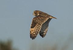Short-eared Owl (Jerry Ting) Tags: mttrashmore haywardregionalshoreline hayward california ebparksok shortearedowl