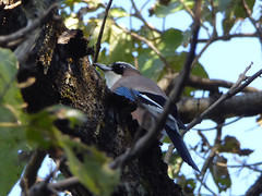 17i1415 (kimagurenote) Tags: カケス jay garrulus garrulusglandarius bird 福島県三島町 mishimafukushima