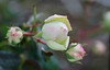 Rose (LuckyMeyer) Tags: rose eden garden green white flower fleur waterdrops