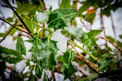 8173 (1 of 1) (sallyjane6) Tags: snow snowyday newlife buds winter bedford holly macro closeup