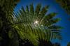 tree fern on Sao Miguel 2 (Bilderschreiber) Tags: fern farn sao miguel saomiguel azores azoren portugal sun sonne backlight gegenlicht