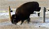 BISON HEADER ... (Aspenbreeze) Tags: bison bullbison buffalo bullbuffalo wildlife wildanimal animal nature wyomingwildlife rural mountains prairie bevzuerlein aspenbreeze moonandbackphotography