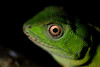 Lizard (Alessandher Piva) Tags: macro reptile reptil répteis lagarto lizard mata atlântica alessandher piva blumenau florianópolis santa catarina pesquisador herpetologia