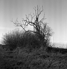 Dead old tree (Rosenthal Photography) Tags: rodinal rolleiflex35f landschaft 20171201 bnw schwarzweiss anderlingen natur asa400 baum mittelformat rodinal150 holunder städte ff120 ilfordhp5 herbst 6x6 analog bw dörfer siedlungen landscape tree lonelytree oldtree deadtree nature mood december winter mediumformat sk schneiderkreuznach xenotar rollei rolleiflex 35f f35 ilford hp5 hp5plus epson v800