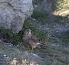 Kestrel (redhead126) Tags: portlandbill kestrel hunting