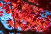 DV2A0472 (Digital_trance) Tags: japan 日本 楓葉 紅葉 maple 楓樹 生態 landscape 日本東北 楓 山形 青森 秋田 yamagata やまがた akita あきた aomori あおもり 日本風景 岩手山