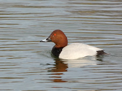 Pochard (Deanne Wildsmith) Tags: bartonmarina staffordshire duck pochard bird earthnaturelife