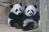 Happy New Year! (smileybears) Tags: zooatlanta panda pandatwins pandacub giantpanda bear yalun xilun