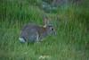 Rabbit (gsreejith) Tags: lake laketekapo tekapo church churchofthegoodshepherd flowers lupin flower sunset mountians newzealand nz visitnz rabbit