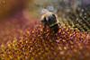 Hummel auf einer Sonnenblume (Argentarius85) Tags: nikond5300 sigma105mmf28exdgoshsm hummel sonnenblume makro nahaufnahme depthoffield dof bumblebee sunflower
