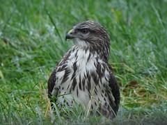 This #buzzard loves his #photograph taken (kerrie hillebrandt) Tags: buzzard photograph