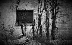 Untitled, Windsor, Ontario (L55ZJNIT6B2KYV5V62Z4HAWSXZ) Tags: snow winter window blocks concrete film 35mm bw monochrome ikon zeiss snowing vines windsor negative scanned rangefinder kodak print darkroom
