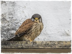 CERNICALO COMUN (BLAMANTI) Tags: cernicalos rapaces aves avesdeespaña canon canonpowershotsx60 blamanti hermosa hermoso bello bella