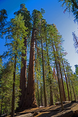 Sequoia Fantasy (dog97209) Tags: sequoia fantasy oldest trees world nation park california