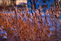 20171227-BB7A0142.jpg (rethwyll) Tags: blue caledonia cattails christmas gold michigan weeds