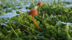 Mushroom in the snow (Nick:Wood) Tags: mushroom fungus moss garden snow winter wildlife nature environment orange solihull grass ice macro
