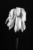 Wilting Beauty (Dalliance with Light (Andy Farmer)) Tags: drooping monochrome faded flower withered bw wilted upclose nature