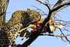 Leopardo con preda (Mario Barbieri Photography) Tags: 2009 canonef100400mmf4556lisusm canoneos50d krugersabisandreserve leopardo sudafrica thebestof