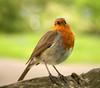 Garden Robin (Alan MacKenzie) Tags: robin bird close feathers wildlife nature beak eyes garden summer