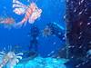 Israël - Eilat - épave du Satil (gil35les) Tags: plongée dive israel eilat mer rouge wreck satil épave lionfish plongeur rascasse volante