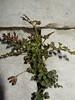 Muurvaren (Asplenium ruta-muraria) (Frank Berbers) Tags: muurvaren aspleniumrutamuraria streepvarenfamilie varen planten plants plante mauerraute mauerstreifenfarn farne wallrue ruedesmurailles macro nikoncoolpixs9500 plant