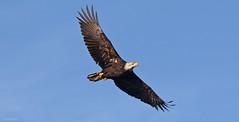 Bald Eagle - 094A5295a1c4 copy (Sue Coastal Observer) Tags: baldeagle baea haliaeetusleucocephalus flight boundarybay delta bcbritishcolumbia canada