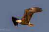 Bald eagle (mayekarulhas) Tags: canon500mm canon conovingo canon1dxmark2 canon14converter wildlife raptors bird avian bald eaglebald