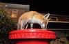 Urban Fox, Bristol, Ian Wade (Disorganised Photographer - Ian Wade - Travel, Wil) Tags: urban fox red bristol night vulpes vvuolples wildlife photograpy animals city flash unit