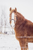 Draft (Melnee Benfield) Tags: horse equine winter farm animal snow ohio