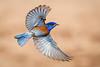 Western Bluebird (Eric Gofreed) Tags: arizona beaverheadflatroad bluebird westernbluebird yavapaicounty ngc coth5