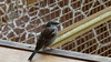 Huismus in het giraffenverblijf (marieckejanssen) Tags: huismus bird urban zoo dierentuin giraf blindphotographer vogel house sparrow