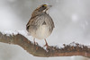 White-Throated Sparrow in the Snow 12-9-2017-13 (Scott Alan McClurg) Tags: emberizidae passeri passeroidea zalbicollis zonotrichia animal back backyard bird delaware life nature naturephotography neighborhood perch perching portrait snow snowing songbird sparrow suburbs whitethroated whitethroatedsparrow wild wildlife winter