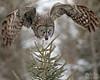 IMG_8322nx (4President) Tags: great gray owl saxzim bog minnesota