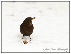 Blackbird (Jim Crozier) Tags: blackbirdsbackgarden8122017 snow canoneos1dx canon300mmf28