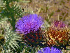 Thistle and Bee! (maginoz1) Tags: abstract art wildflowers flower thistle pricklypear succulent manipulate curves bulla melbourne victoria australia summer december 2017 canong16 bee