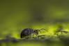 Katiannidae Genus nov.1 sp. nov (markhortonphotography) Tags: globularspringtail nature katiannidae deepcut surrey springtail wildlife thatmacroguy surreyheath katianna katiannidaegenusnov1spnov macro symphypleona markhortonphotography globby collembola invertebrate