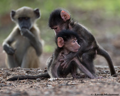 """I luv you!"" (leendert3) Tags: leonmolenaar wildlife nature krugernationalpark southafrica mammals chacmababoon coth5 ngc npc"