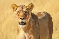 Concentration, Etosha National Park, Namibia (Poulomee Basu) Tags: travel adventure safarilovers safari lightroom nikon portrait lioness lion namibia etosha wildlifephotographer wildlifephotography wildlife wild